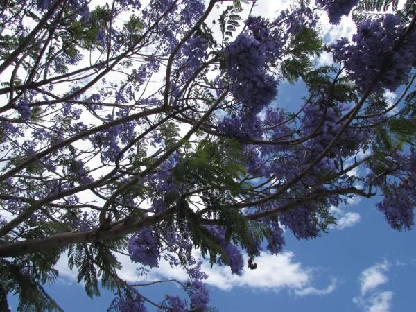 Жакаранда, Джакаранда (Jacaranda mimosifolia, Jacaranda acutefolia) цветы кипра
