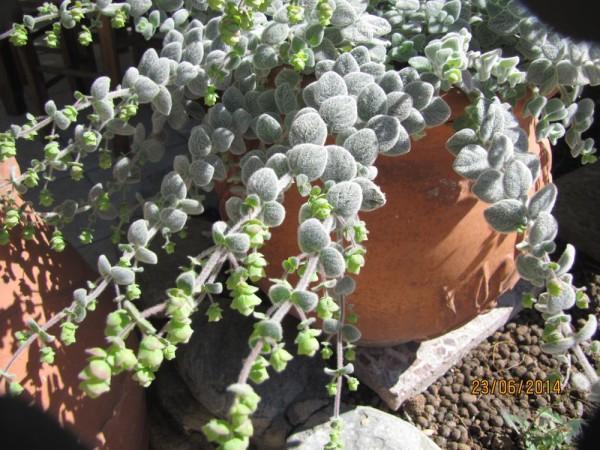 Диктамос, душица критская (Origanum dictamnus) цветы крита