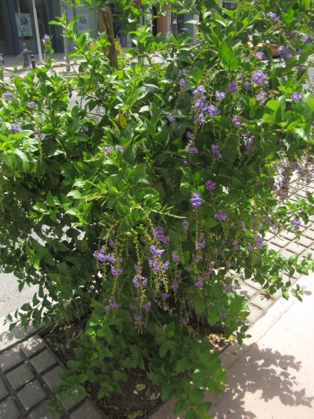 Дуранта, Медовая Капля (Duranta erecta, Duranta repens) цветы крита