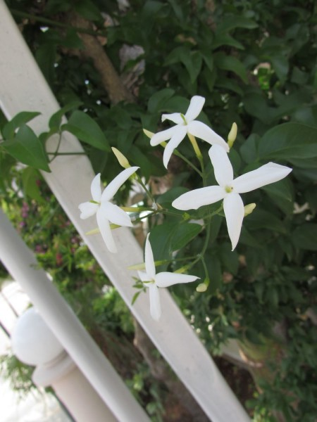 цветы кипра Жасмин лекарственный (белый или настоящий) (Jasminum officinale)