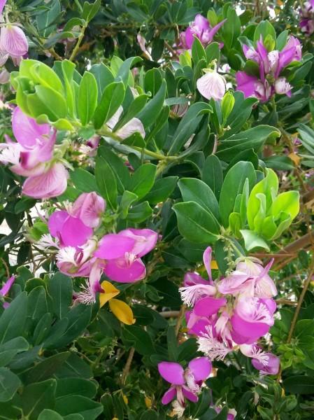 Истод миртолистный (Polygala myrtifolia) цветы кипра