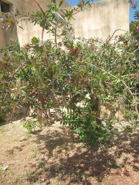 Каллистемон, Красивотычиночник, или Краснотычиночник (Callistemon citrinus) цветы крита