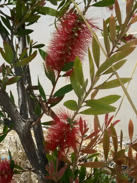 Каллистемон, Красивотычиночник, или Краснотычиночник (Callistemon citrinus) цветы кипра