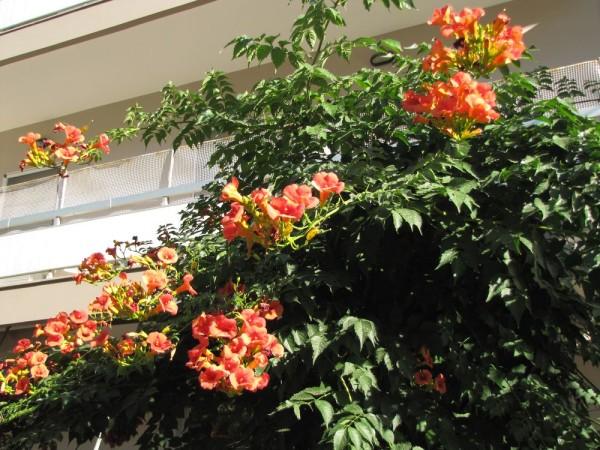 Кампсис (Campsis radicans) цветы крита