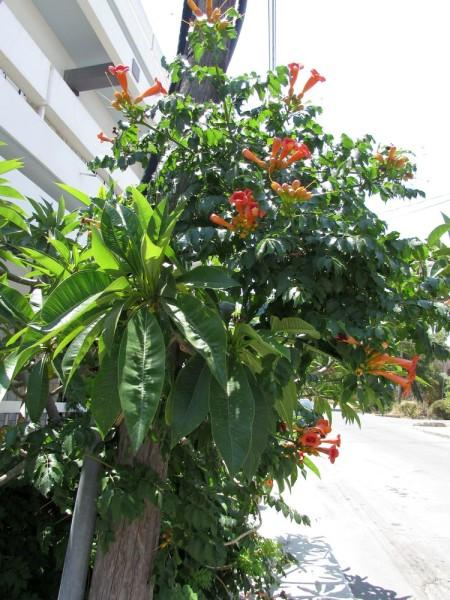 Кампсис (Campsis radicans) цветы кипра