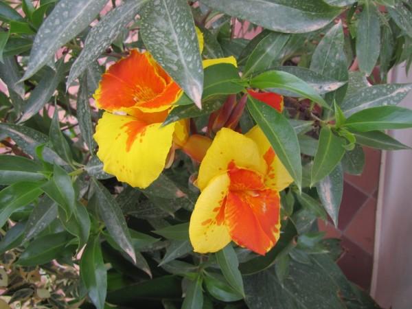 Канна (Canna indica, Canna x generalis) цветы крита