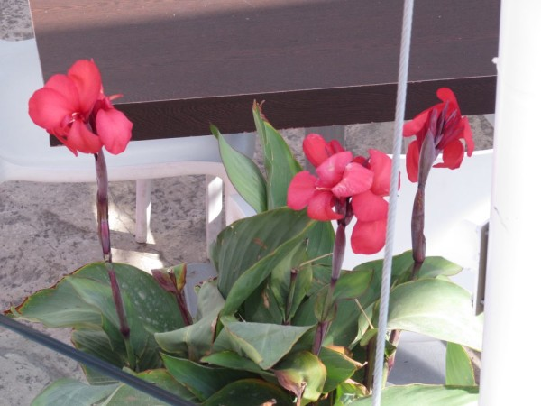 Канна (Canna indica, Canna x generalis) цветы кипра