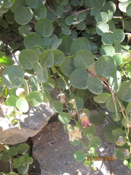 Каперс колючий (Capparis spinos) цветы крита