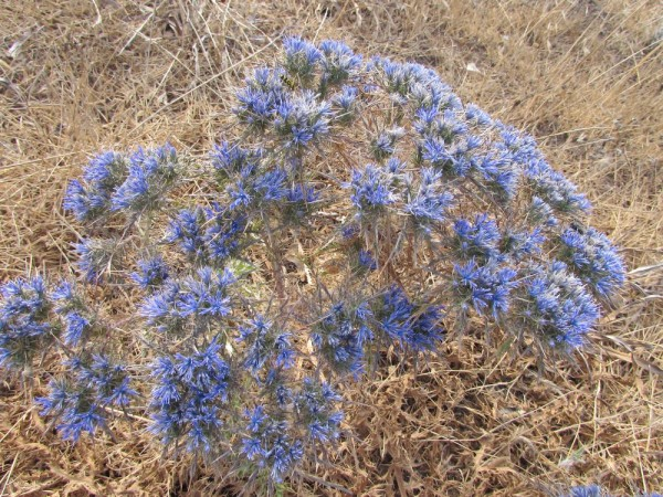 Кардопатиум щитковидный (Cardopatium corymbosum) цветы кипра