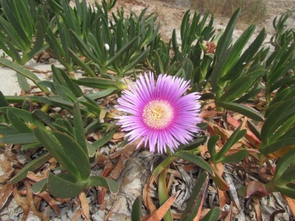 Карпобротус (Carpobrotus) цветы кипра