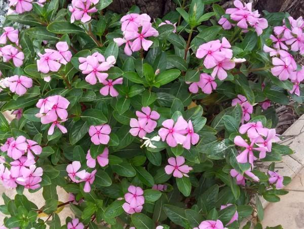 Катарантус, или Барвинок розовый (Catharanthus roseus = Vinca rosea = Lochnera rosea) цветы кипра