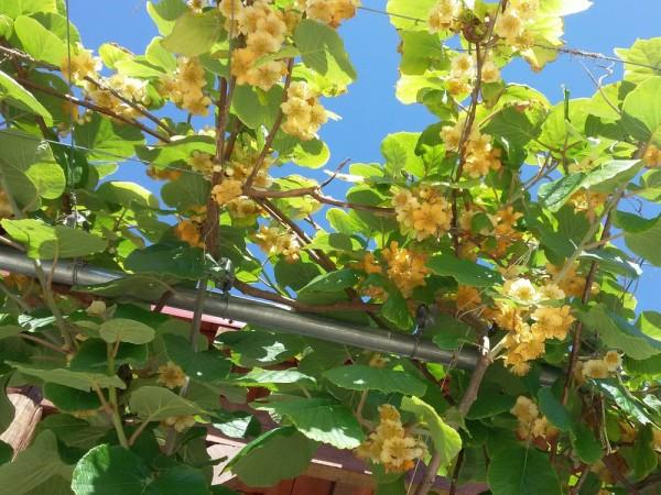 Киви, актинидия (Actinidia deliciosa) цветы кипра