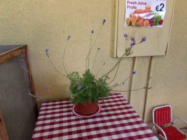 Лаванда (Lavandula) цветы кипра