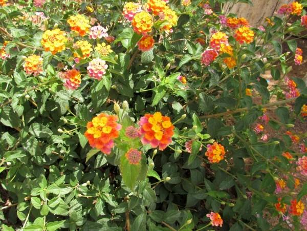 Лантана сводчатая, или шиповатая, Lantana camara цветы кипра