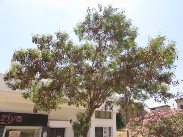 Цветы Кипра левкена сизая, мимоза белоголовая