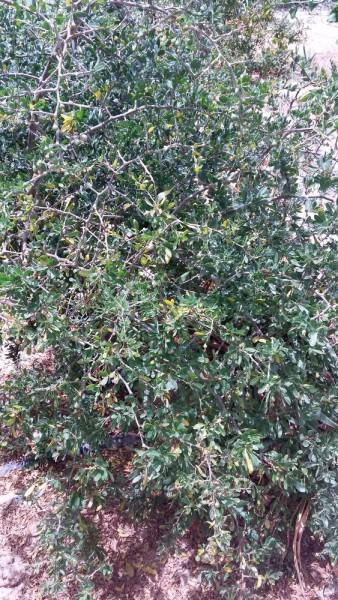 Lycium ferocissimum (африканская дереза) цветы кипра