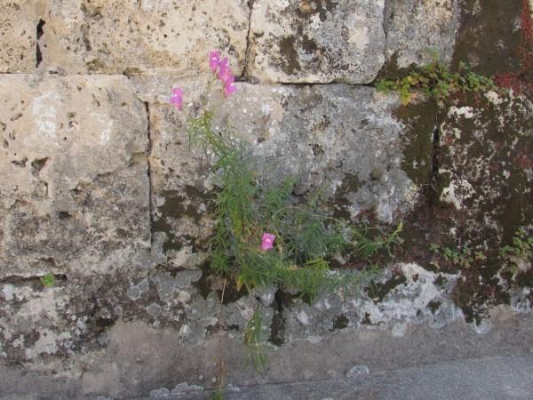 Львинный зев большой (Antirrhinum majus) цветы кипра