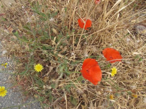 Мак самосейка (Papaver rhoeas) цветы кипра