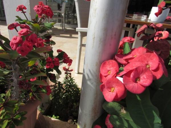 Молочай Миля (Euphorbia milii) цветы кипра