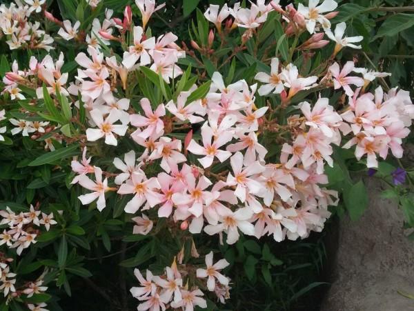 Олеандр (Nerium оleander) цветы кипра