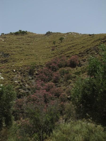 Олеандр (Nerium оleander) цветы крита
