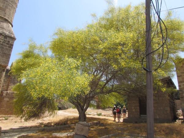 Паловерде мексиканская, Паркинсония колючая (Parkinsonia aculeata = Cercidium aculeata) цветы кипра