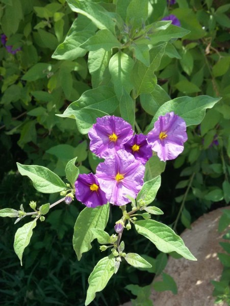 Паслён горечавковидный (Solanum rantonnetii) цветы кипра