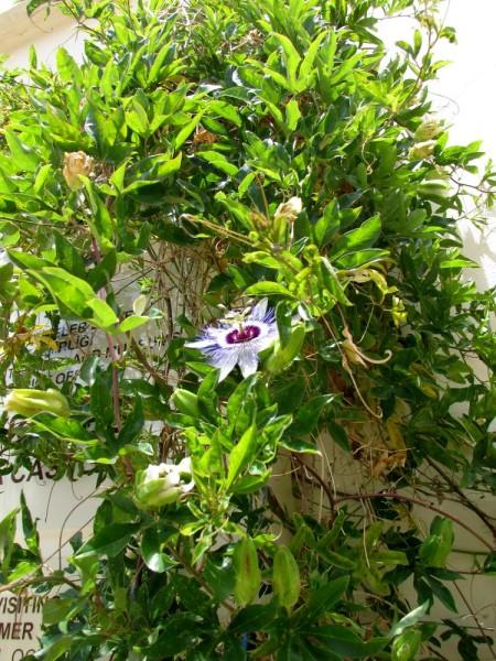 Страстоцвет, пассифлора (Passíflōra) цветы кипра
