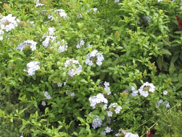 Свинчатка или Плюмбаго ушковидное (Plumbago auriculata) цветы кипра