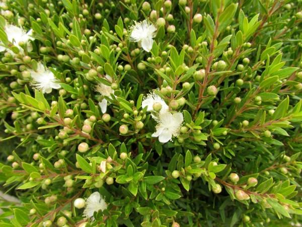 цветы кипра Мирт обыкновенный (Myrtus communis)