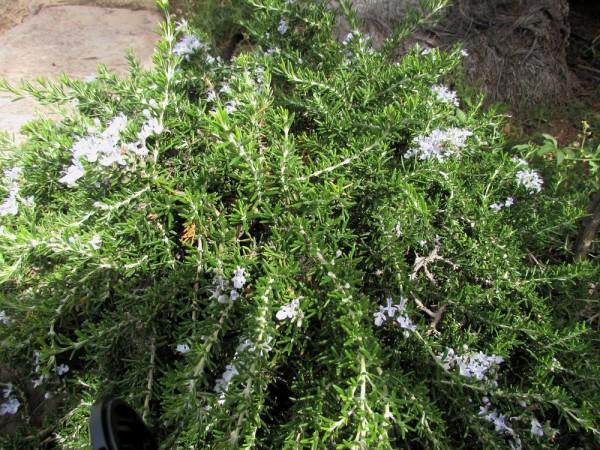 Розмарин (Rosmarinus officinalis) цветы кипра