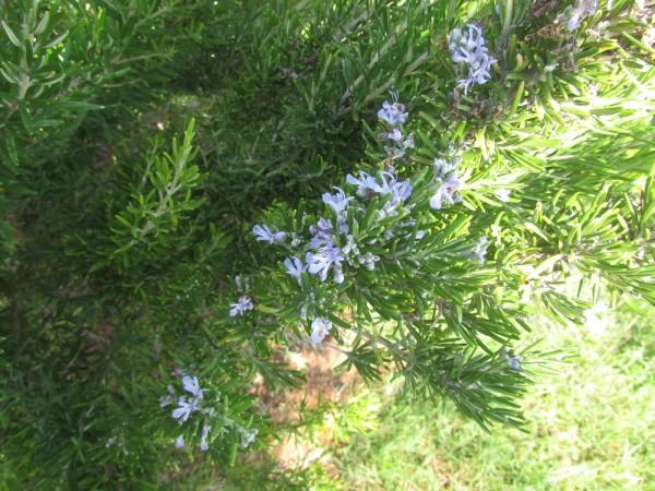 Розмарин (Rosmarinus officinalis) цеты кипра