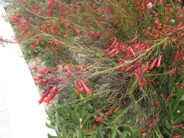 Русселия хвощевидная, Коралловый папоротник (Russelia equisetiformis) цветы кипра