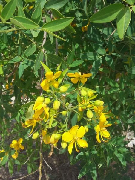 Сенна западная (Senna occidentalis) цветы кипра