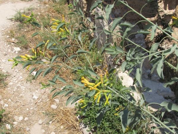 Табак сизый (Nicotiana glauca) цветы кипра
