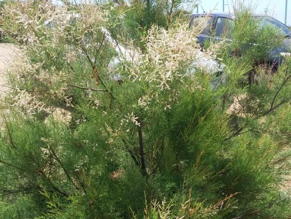 Тамариск (Tamarix smyrnensis) цветы кипра