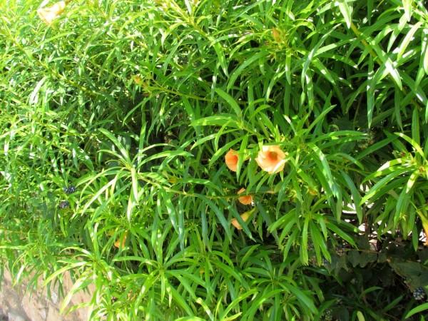 Тевеция, Жёлтый олеандр (Thevetia nereifolia цветы кипра