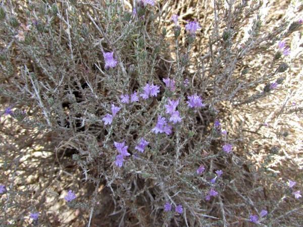 Тимьян, фимбра головчатая (Thymus capitatus, Coridothymus capitatus) цветы кипра