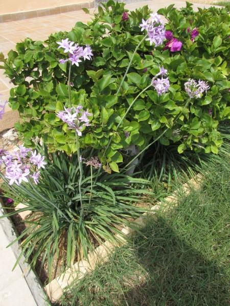 Тульбагия фиолетовая (Tulbaghia violacea, Alliaceae) цветы кипра
