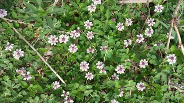 Фила узлоцветковая (Phyla nodiflora) цветы кипра