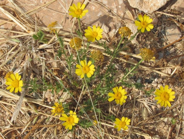 Хризантема увенчанная (Chrysanthemum coronarium) цветы Кипра