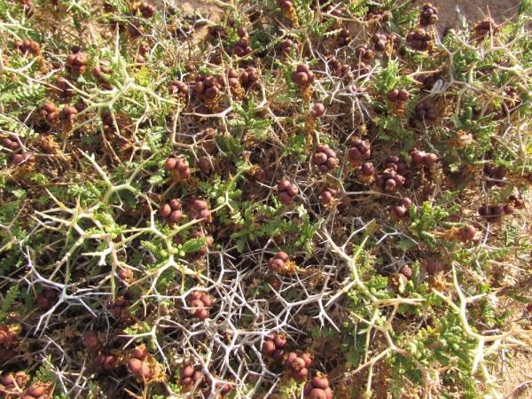 Саркопотериум колючий, черноголовник колючий (Sarcopoterium spinosum) цветы кипра