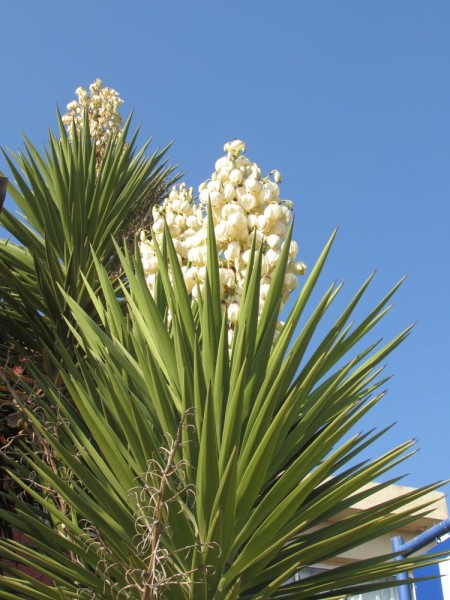 Юкка (Yucca) цветы кипра
