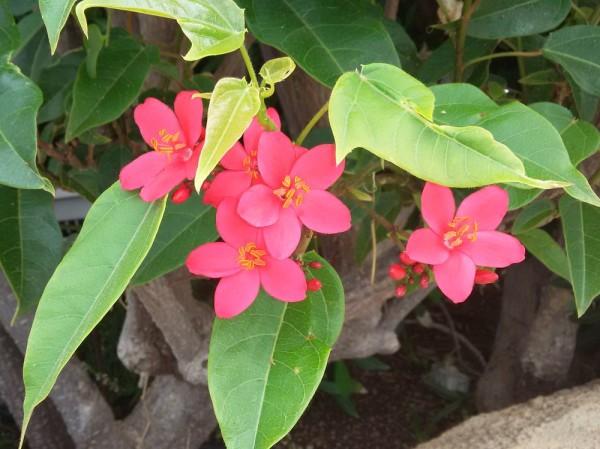 Ятрофа цельнокрайняя, Коралловый цветок (Jatropha integerrima) цветы кипра