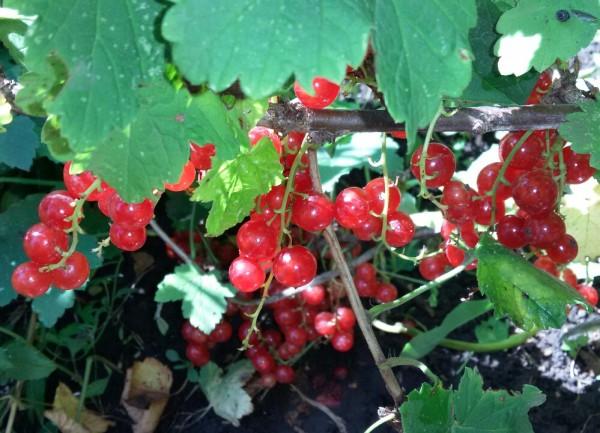 Желе из красной смородины загадки про ягоды