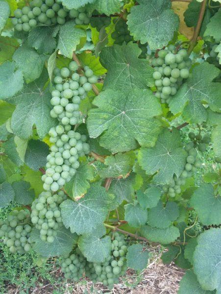 виноград загадки про ягоды