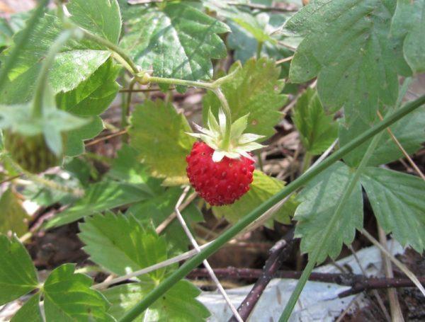 земляника загадки про ягоды