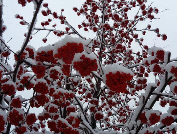 рябина загадки про ягоды
