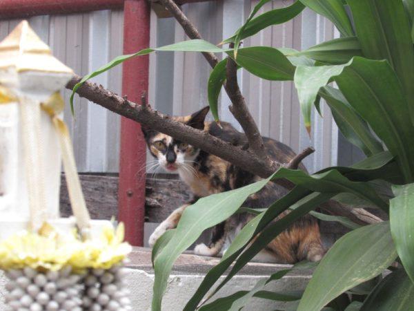 В Таиланде можно встретить много домиков для духов. В них помещают плошки с едой и напитки. Духам эта пища не особенно нужна, но все-таки плошки пустеют. Угощение съедают животные, в том числе и бродячие коты. Говорят, что если кошка лакомится подношением для духов, значит, через эту кошку угощение принял сам дух-покровитель.