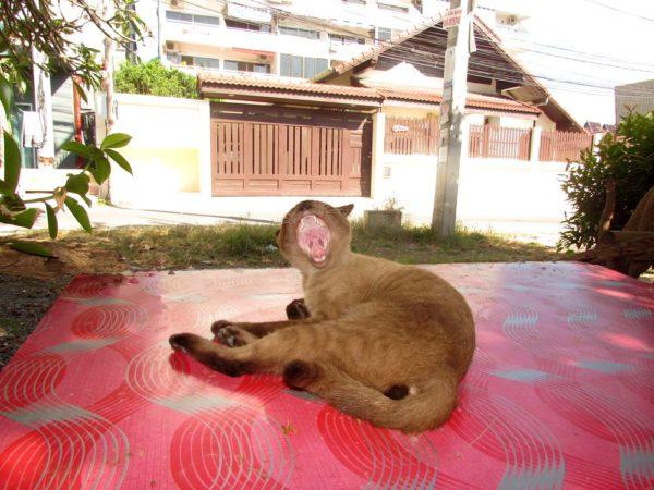 Сиамские кошки - кошки в Таиланде